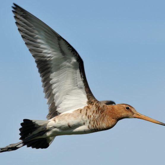 Moratoire de chasse à la Barge à queue noire : Consultation publique avant le 25 juillet 2019