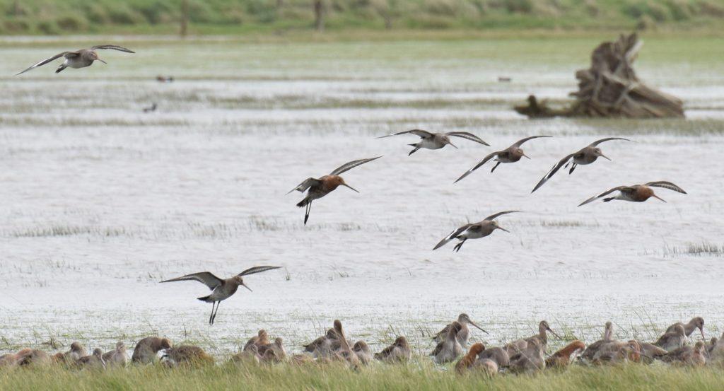 Les prairies inondées accueillent des groupes de migrateurs
